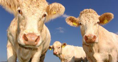 """Političky emocionálne bučia po sebe, podobne im kravy, vedci analyzovali 333 zvukov """"mú"""" alebo """"bú"""""""